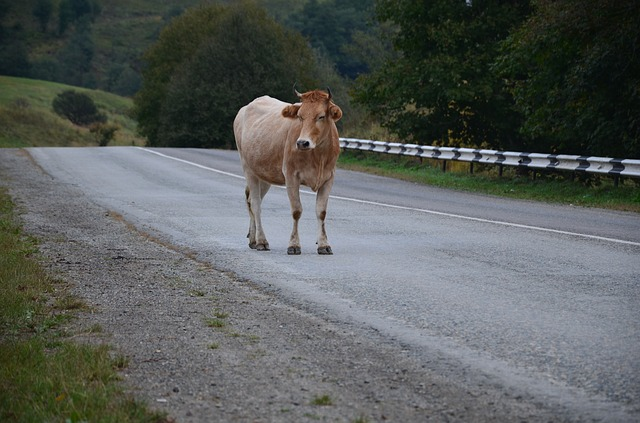 a-cow-on-the-road-985785_640