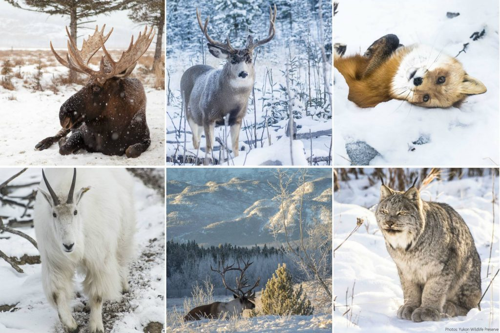 yukon-wildlife-things to do in canada